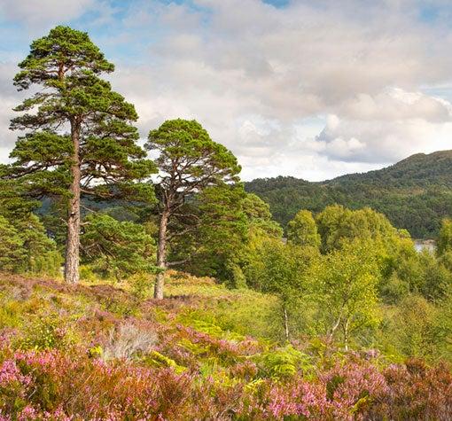 Scots-Pines-at-Glen-Affric_510x475.jpg